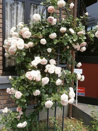 「エステティックサロン ファシオール本店」の入り口にはピンクのキュートな「ピエールドゥロンサール」が咲き誇っていました。